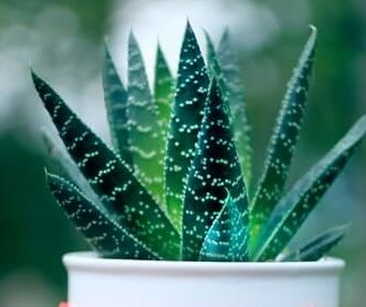 Home Remedies For Dry Skin On Face  Apply Aloe Vera Gel